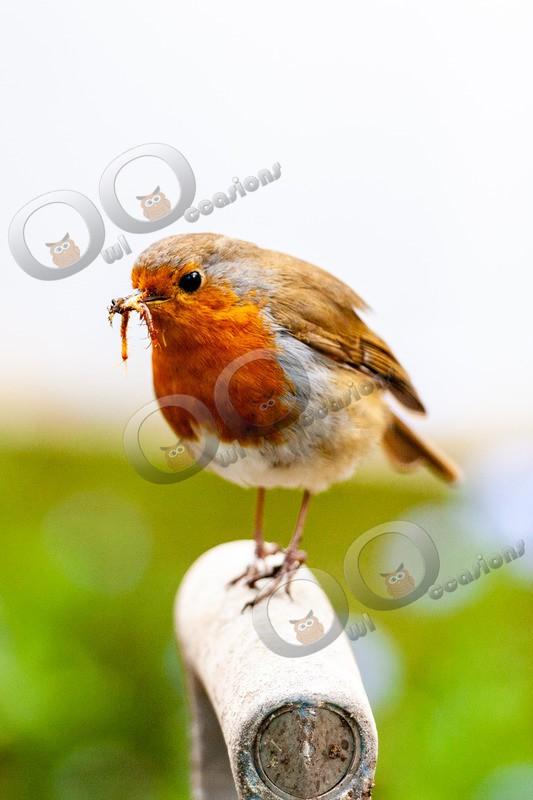 Robin Erithacus rubecula3770 - UK birds