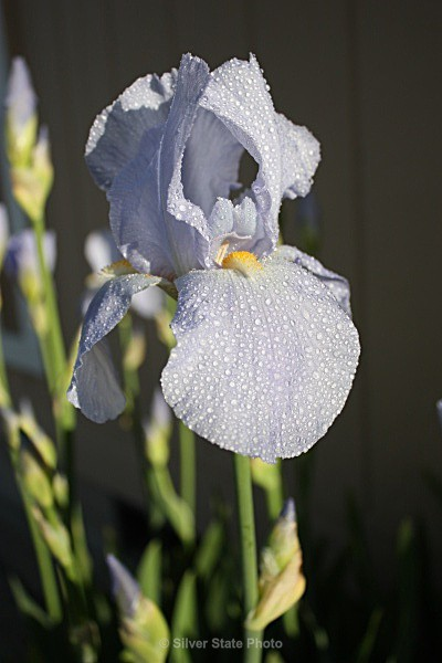 Iris - Flowers
