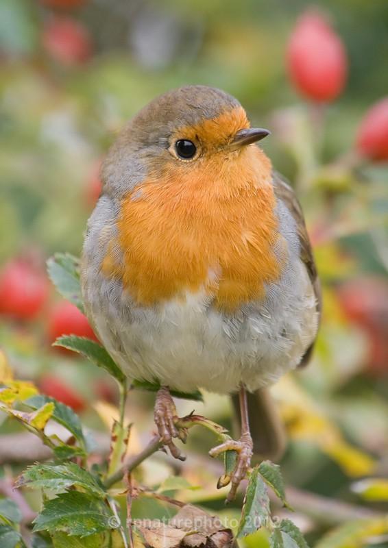 Robin - Erithacus rubecula RPNP0091 - Birds