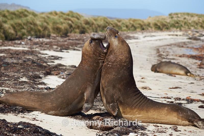 Elephant Seals Fighting - Carcass Island