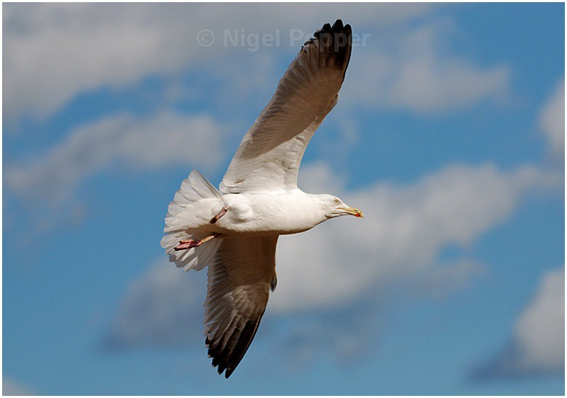 Up Up and Away - Leggy the Herring Gull