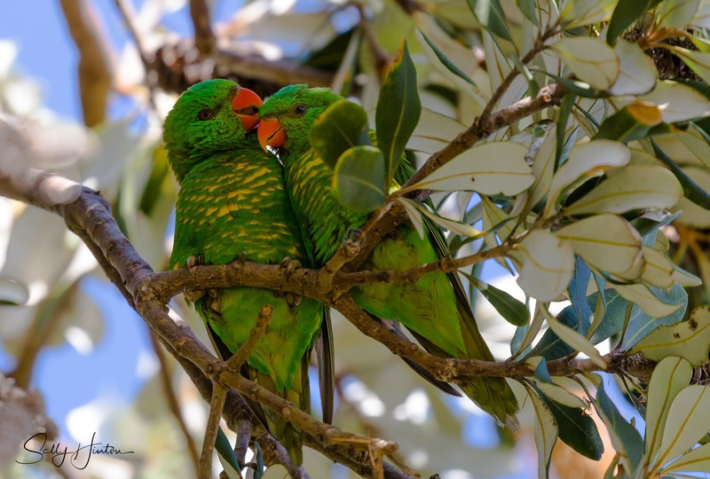 Greeny Pair 2 - Lorikeets (For Sale)