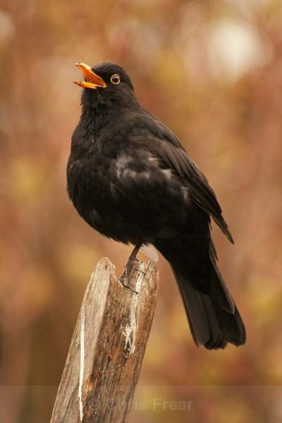 Frear-Blackbird - For T&C
