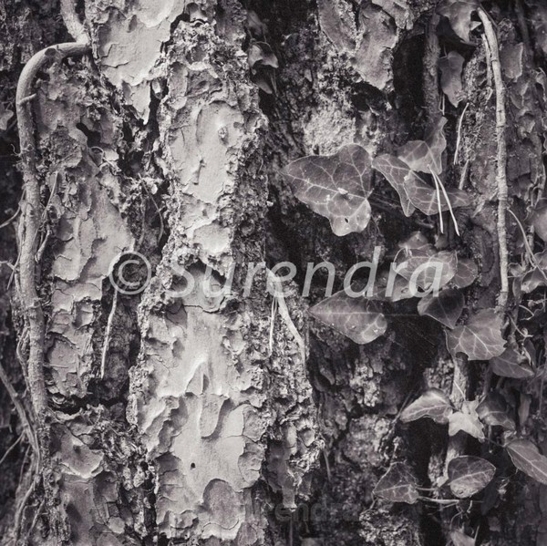 Bark # 25D - Bark Series 1 樹皮
