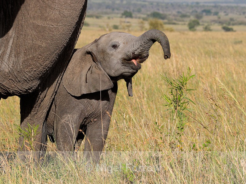 Baby Elephant at mother's side in the Masai Mara - Elephant
