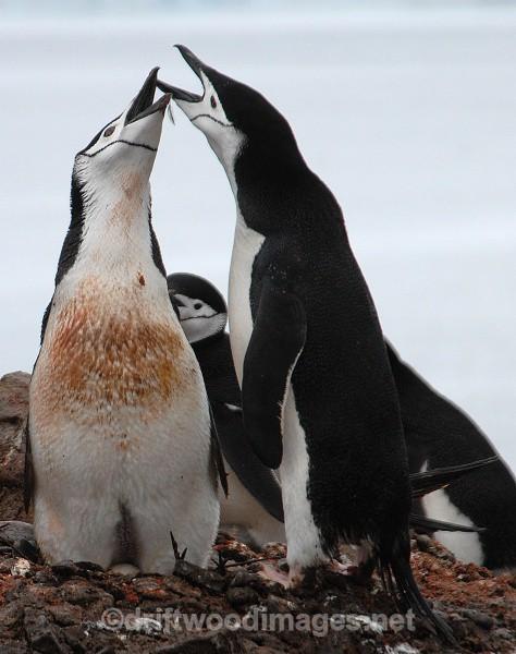 Pair of Chinstraps, Half Moon Island - Antarctica