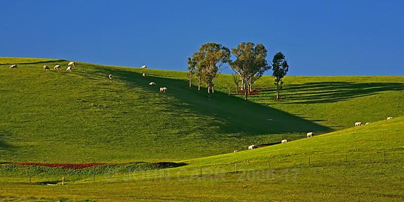Sheep grazing on a Hill side near Kapunda