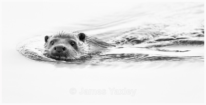 Otter  - Latest Work