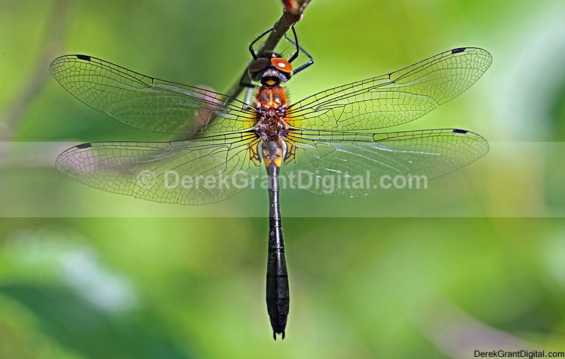 Racket-tailed Emerald (f) - Dragonflies of Atlantic Canada