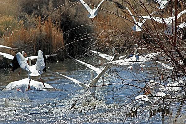 American White Pelicans - Nevada Birds