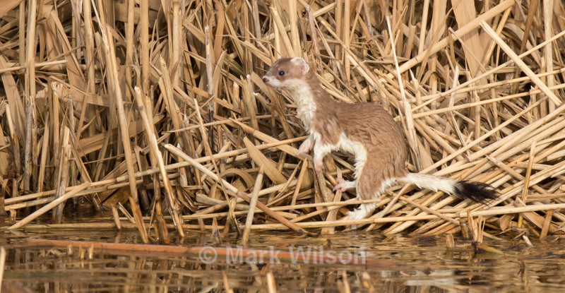Stoat - Animals