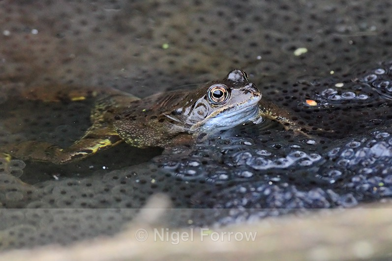 Common Frog amongst frogspawn at Otmoor - REPTILES & AMPHIBIANS
