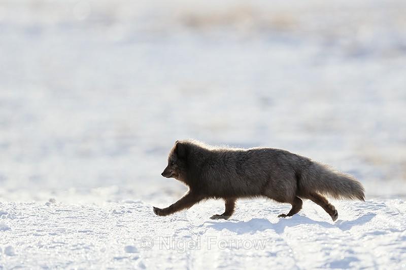 Arctic Fox running, backlit, Svalbard, Norway - Arctic Fox