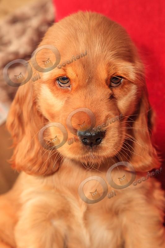 Cute Cocker Spaniel_0052 - Pet Photography