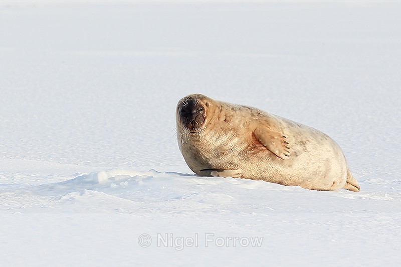 Ringed Seal by ice hole, Svalbard, Norway - Seal