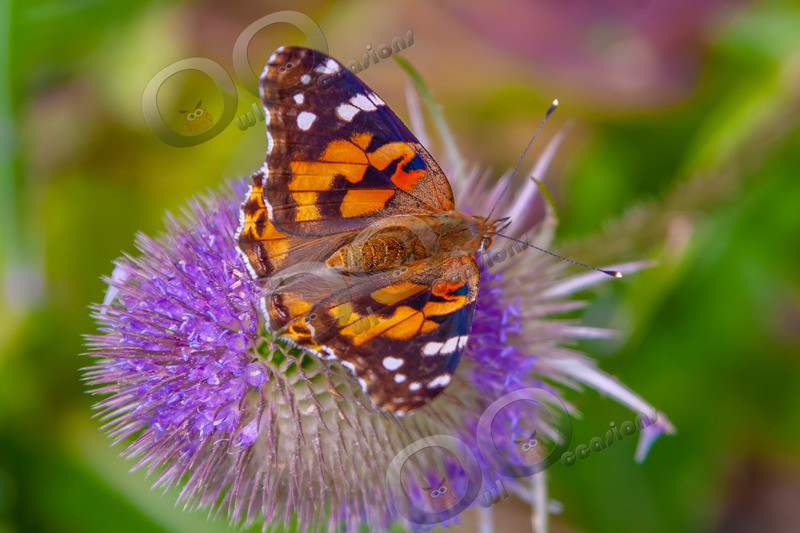 painted lady Vanessa cardui-2213 - Insects from around the world