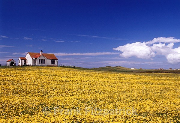 Croft house and field of Rapeseed, Benbecula, Outer Hebrides. - Benbecula