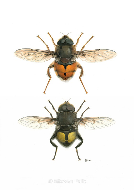 Costa Rican Hoverflies - Flies