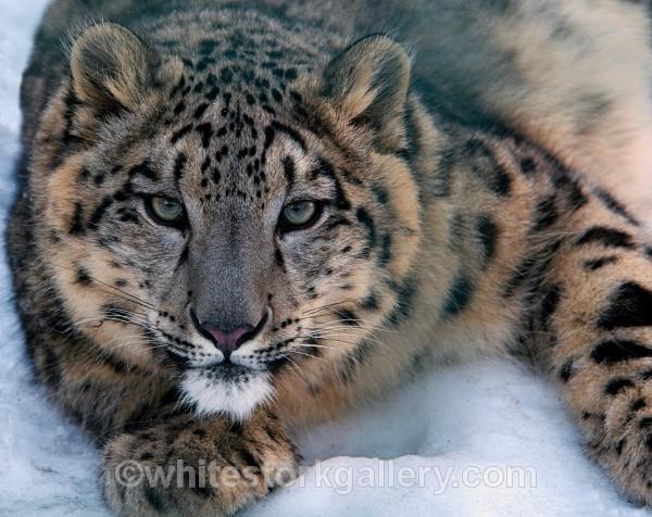 Snow Leopard - Wildlife and Animals