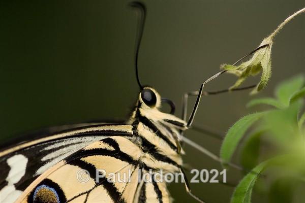 Citrus Swallowtail - Macro