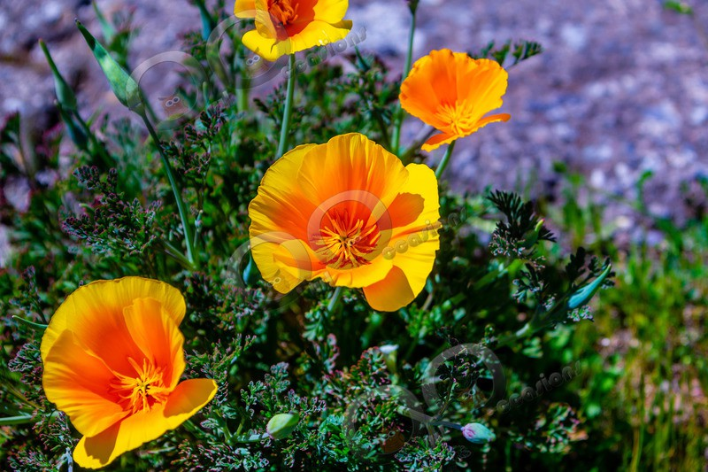 Californian poppy Eschscholzia californica-5522 - Plants and trees