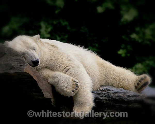 Sleepy Bear - Wildlife and Animals