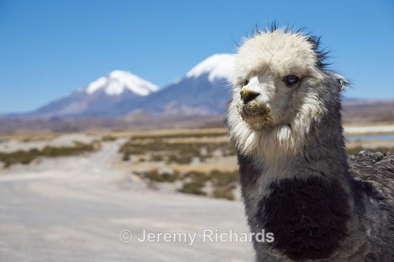 Alpaca - Altiplano of North-East Chile