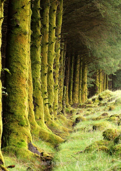 Moss covered trees (image Trees 01) - Trees, Plants, Flowers & Garden scenes