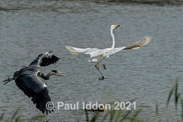 egret05 - Nature - Birds and Wildlife
