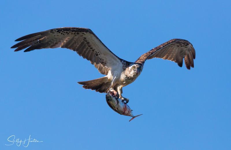Osprey with Trevally - Osprey (For Sale)