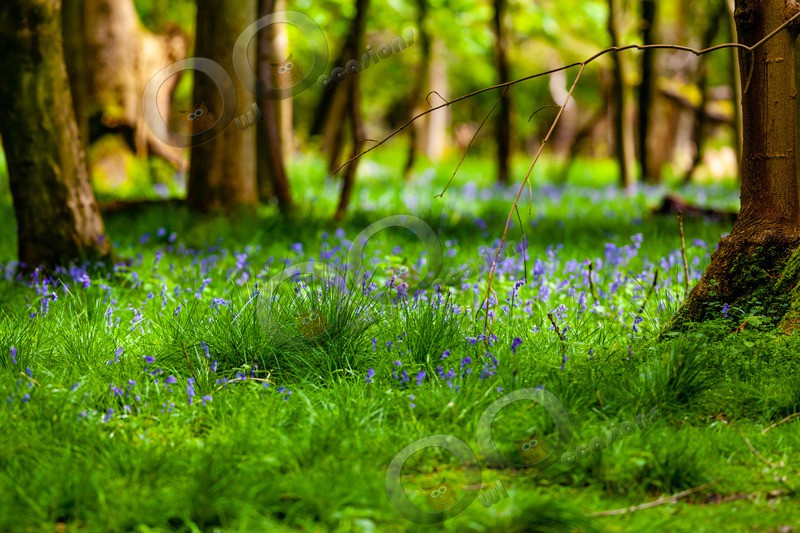 bluebell Hyacinthhoides non-scripta-4738 - Plants and trees