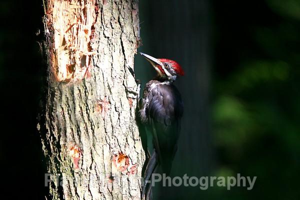 Pilated Woodpecker 2 - Around The World