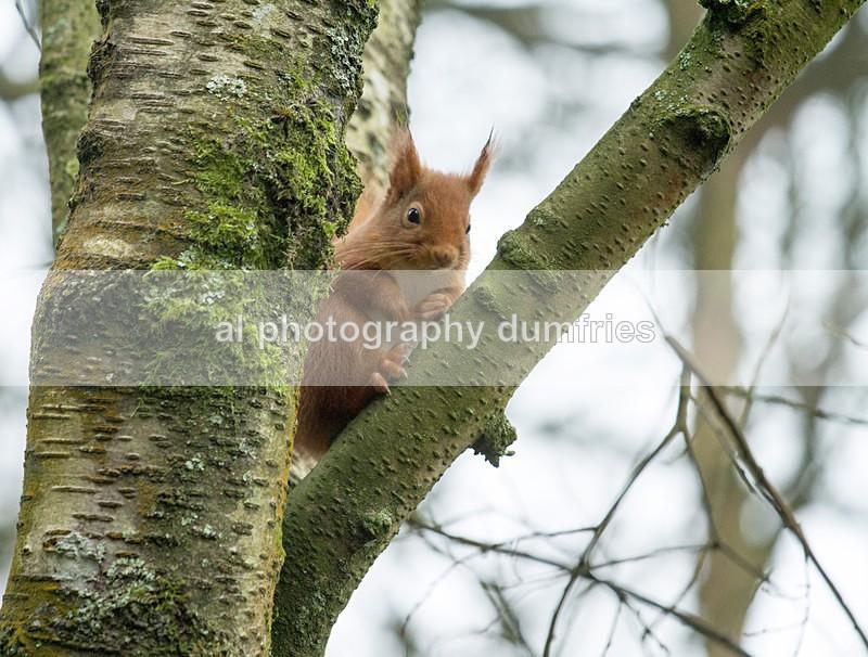 Red Squirrel 13 (disambiguation). - Eskrigg Nature Reserve Lockerbie