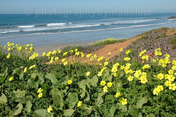 Feburary flowers at Carlsbad beach - Seascapes of Southern California
