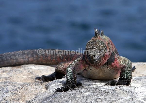 Marine Iguana 2 - Galapágos