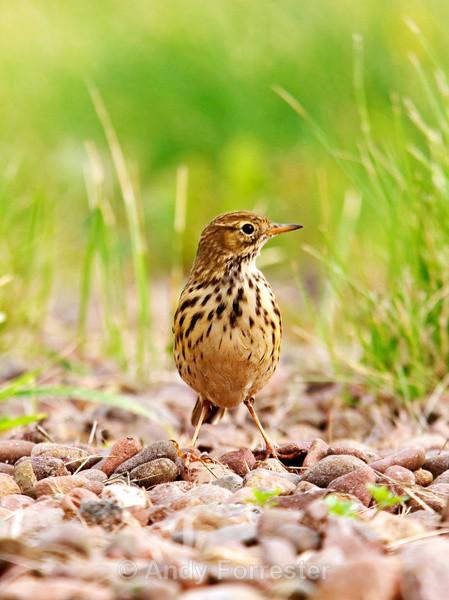 Meadow Pippit - Birds