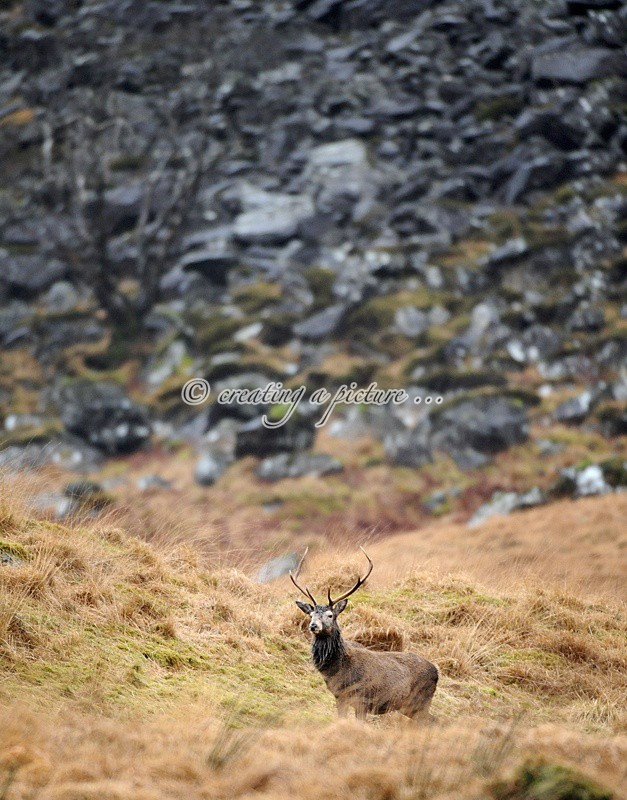 Stag on Mountain - Nature