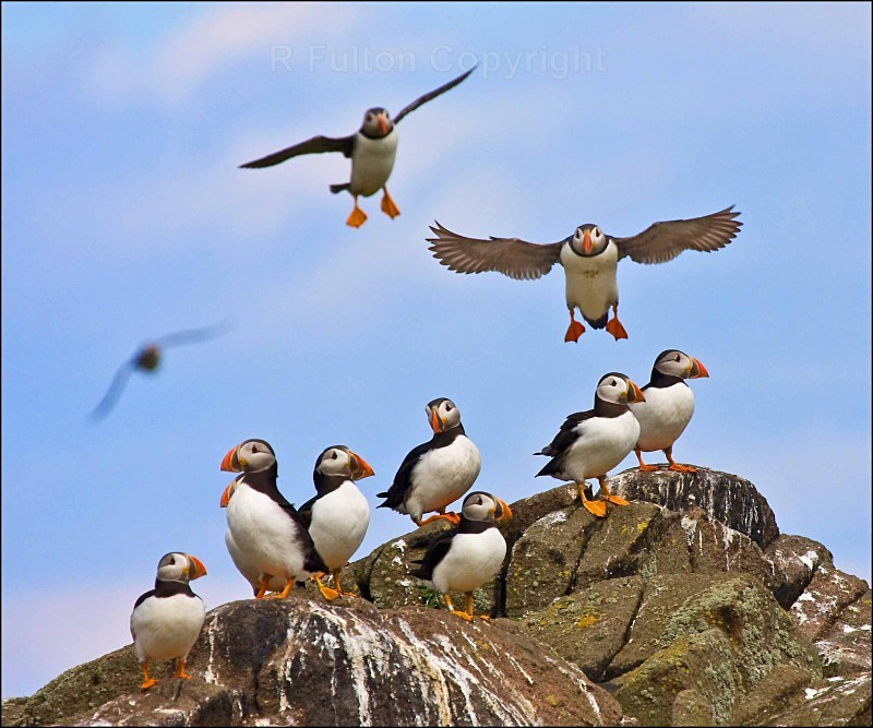 Puffin Colony - Nature