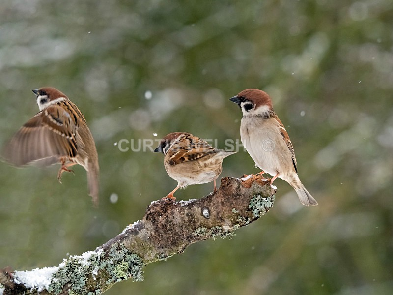 Tree Sparrows - Curtis Welsh - THE SCOTSMAN - READERS GALLERY