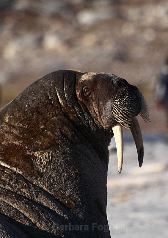 Walrus 9035 - Wildlife