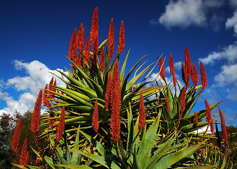 Red Cactus 2-7836 - TREES, FLOWERS AND PLANT PHOTOS