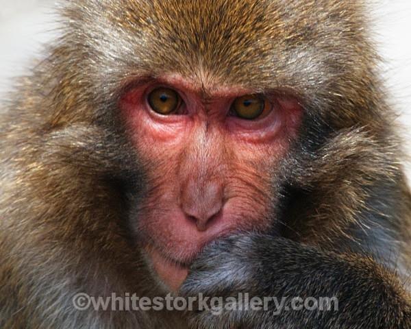 I'm Thinking - Japenese Monkey - Wildlife and Animals
