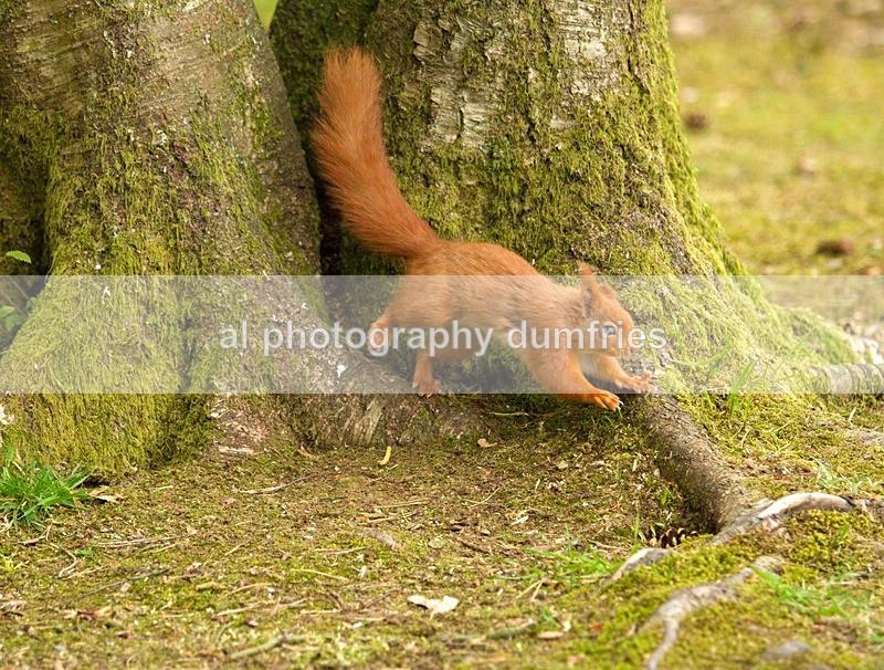 Red Squirrel 6 (disambiguation). - Eskrigg Nature Reserve Lockerbie
