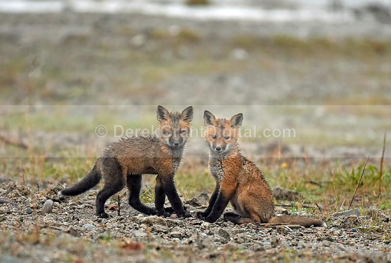 Red Fox Kits Vulpes Vulpes - Mammals, Reptiles & Amphibians