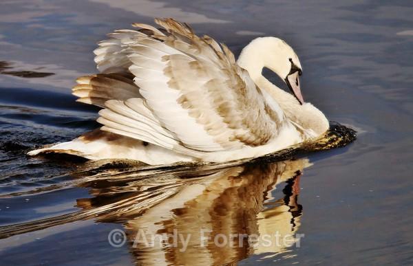 Show Off Swan - Birds