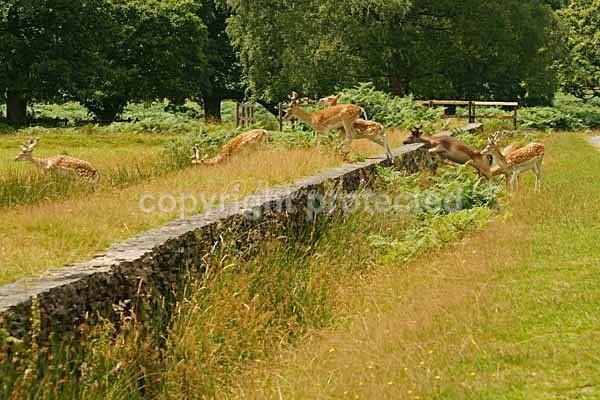 Fallow Deer herd jumping wall - Bradgate Park - Bradgate Park - Deer & more