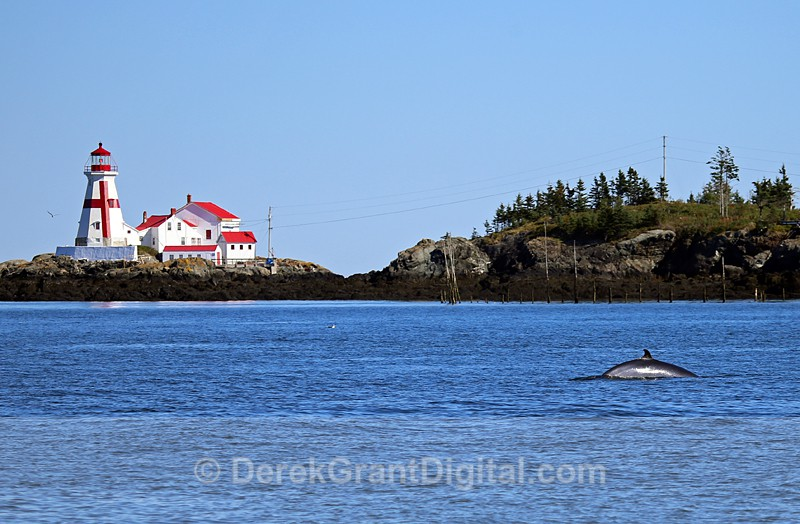 Minke Whale in Scenic Waters - Bay of Fundy Whales