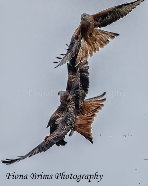 Red Kites  November-36 - Birds of Prey