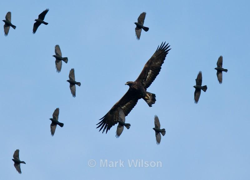 Golden Eagle, mid-Wales - Birds of prey & owls