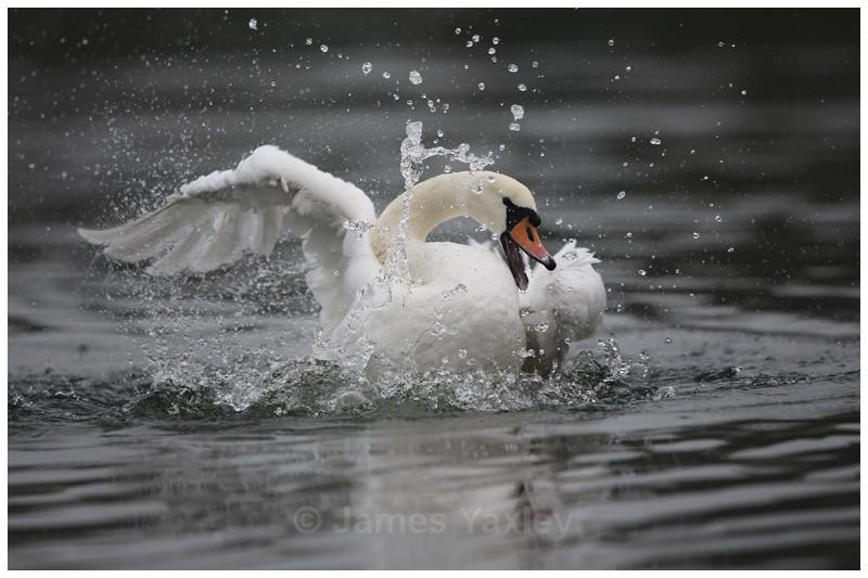 Mute Swan Bathing 2 - River Scrape & Lake